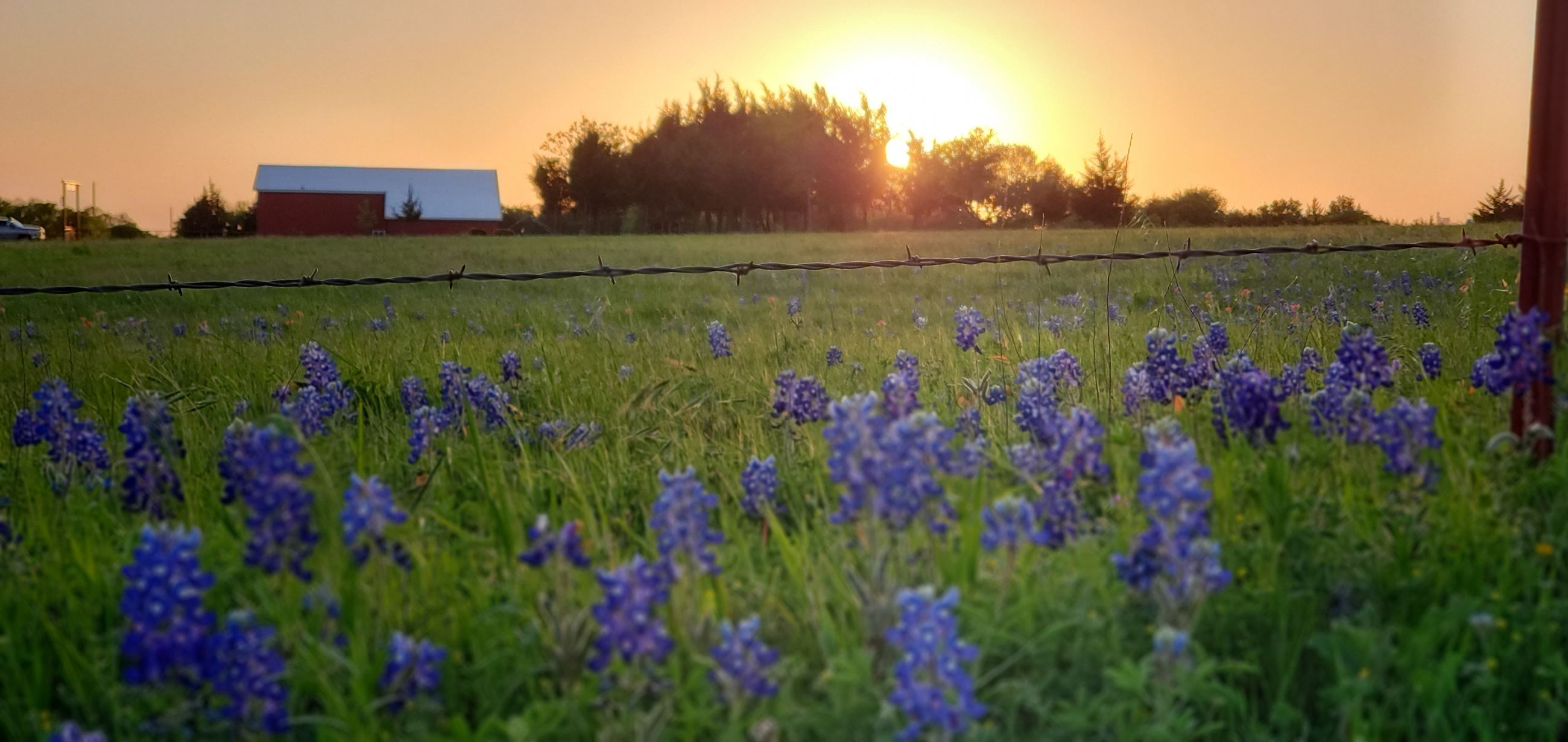 Field of Bluebonnets at Sunrise